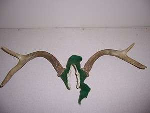 POINT BUCK DEER ANTLERS RACK   HUNTING TAXIDERMY RATTLING LURE