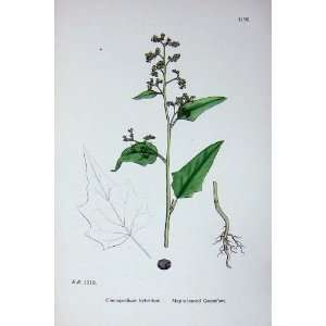 Sowerby Plants C1902 Maple Leaved Goosefoot Hybridum: Home & Kitchen