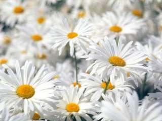 Marguerite détè vivace,grands fleurs 70 graines/seeds