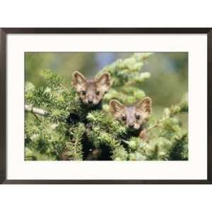pair of captive pine martins stand on a tree branch Framed Art